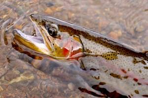 Spectacluar Cutthroat Trout Caught At Tonahutu Creek Ranch